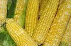 Сорт кукурузы: Эден стар