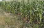Сорт кукурузы: Эмилио