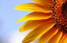 Ешьте семечки или в чем польза семян подсолнечника