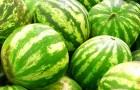 Сорт арбуза: Фермер f1