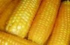 Сорт кукурузы: Харьковская 523 мв