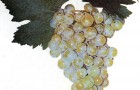 Сорт винограда: Хатми урожайный