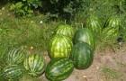 Сорт арбуза: Хелен f1