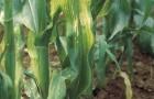 Сорт кукурузы: Хмв 5405 x хмв 5301