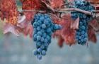 Сорт винограда: Каберне северный