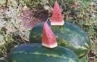 Сорт арбуза: Караван f1