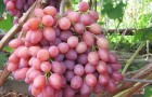 Сорт винограда: Кардинал анапский