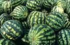 Сорт арбуза: Колоссео f1