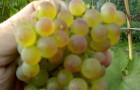 Сорт винограда: Коринка русская