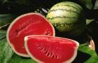 Сорт арбуза: Коррида f1