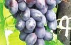 Сорт винограда: Лоза горянки