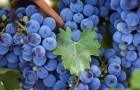 Сорт винограда: Лунный