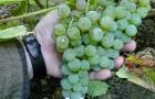 Сорт винограда: Любава