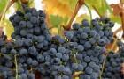 Сорт винограда: Матраса