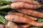 Мелойдогиноз моркови