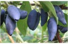 Сорт жимолости: Минусинская синева