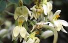 Моринга масличная: гималайское чудо дерево