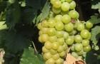 Сорт винограда: Мускат белый