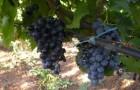 Сорт винограда: Мускат гамбургский