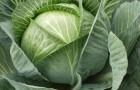 Недостаток элементов минерального питания капусты