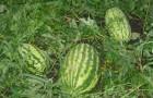 Сорт арбуза: Новинка астрахани
