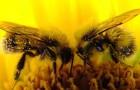 Пчелы способны на измену