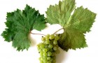 Сорт винограда: Первенец магарача