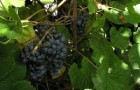 Сорт винограда: Первенец скуиня