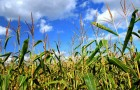 Сорт кукурузы: Пх 5 ф вв