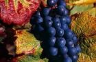 Сорт винограда: Пино черный