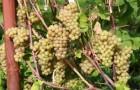 Сорт винограда: Платовский