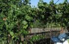 Сорт винограда: Плечистик