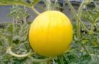 Сорт арбуза: Подарок солнца