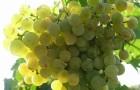 Сорт винограда: Ритон