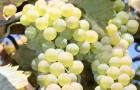 Сорт винограда: Ркацители