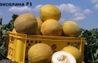 Сорт дыни: Роксолана f1