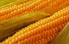 Сорт кукурузы: Росс 273 мв