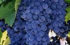 Сорт винограда: Рубин голодриги
