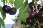 Сорт черешни: Рубиновая кубани