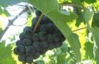 Сорт винограда: Рубиновый магарача