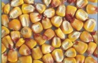 Сорт кукурузы: Русич