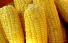 Сорт кукурузы: Шумика мв