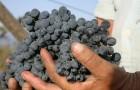 Сорт винограда: Саперави