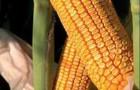 Сорт кукурузы: Сильвинио