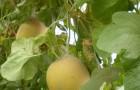 Сорт дыни: Солнечная f1