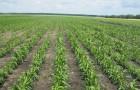 Сорт кукурузы: Солонянский 298 св