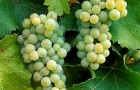 Сорт винограда: Совиньон белый