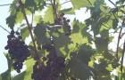 Сорт винограда: Станичный