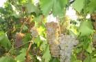 Сорт винограда: Степняк