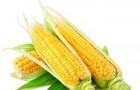 Сорт кукурузы: Сунаро